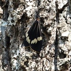 Nyctemera amicus (Senecio or Magpie moth) at Cotter Reserve - 11 Sep 2018 by PeteWoodall