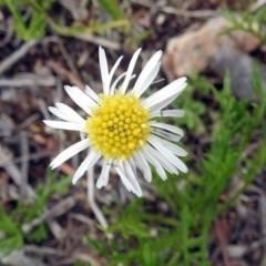 Calotis anthemoides (Chamomile burr-daisy) at Macarthur, ACT - 17 Oct 2018 by RodDeb