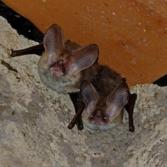 Nyctophilus geoffroyi (Lesser Long-eared Bat) at Brogo, NSW - 17 Oct 2018 by MaxCampbell