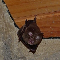 Rhinolophus megaphyllus (Eastern Horseshoe Bat) at Brogo, NSW - 17 Oct 2018 by MaxCampbell