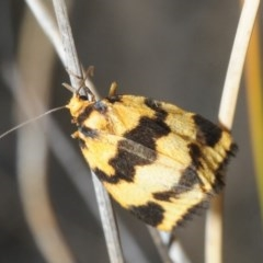Termessa sp nr xanthomelas (A tiger moth) at Gossan Hill - 15 Oct 2018 by Harrisi