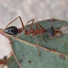 Myrmecia nigriceps (Black-headed bull ant) at Jerrabomberra Grassland - 14 Oct 2018 by Christine