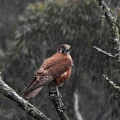 Falco (Ieracidea) berigora berigora (Brown Falcon) at Brogo, NSW - 15 Oct 2018 by MaxCampbell
