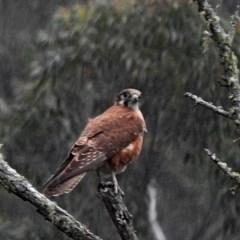 Falco (Ieracidea) berigora berigora (Brown Falcon) at Brogo, NSW - 15 Oct 2018 by MaxCampbell