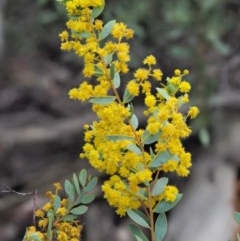 Acacia buxifolia subsp. buxifolia (Box-leaf Wattle) at Cotter River, ACT - 15 Oct 2018 by KenT