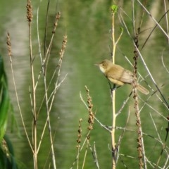 Acrocephalus australis (Australian Reed-Warbler) at Commonwealth & Kings Parks - 18 Oct 2018 by JanetRussell