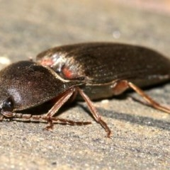 Conoderus sp. (genus) (Click beetle) at Ainslie, ACT - 16 Oct 2018 by jbromilow50