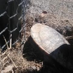 Chelodina longicollis (Eastern Long-neck Turtle) at Amaroo, ACT - 19 Oct 2018 by cf17