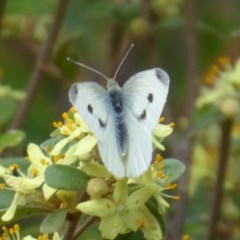Pieris rapae (Cabbage White) at ANBG - 18 Oct 2018 by Christine