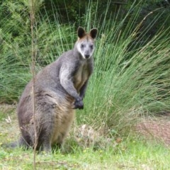 Wallabia bicolor (Swamp Wallaby) at ANBG - 18 Oct 2018 by Christine