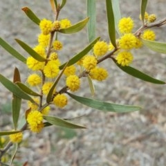 Acacia lanigera var. lanigera (Woolly Wattle, Hairy Wattle) at Mount Mugga Mugga - 19 Oct 2018 by Mike