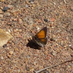 Lucia limbaria (Chequered Copper) at Hughes, ACT - 6 Oct 2018 by roymcd