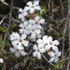 Leucopogon virgatus (Common Beard-heath) at Black Mountain - 19 Oct 2018 by RWPurdie