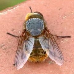Calliphora stygia (Brown blowfly or Brown bomber) at Ainslie, ACT - 17 Oct 2018 by jbromilow50