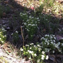 Asperula conferta (Common Woodruff) at Red Hill Nature Reserve - 21 Oct 2018 by KL