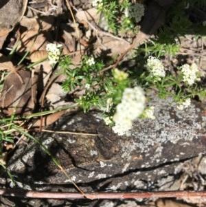 Asperula conferta at Red Hill Nature Reserve - 21 Oct 2018
