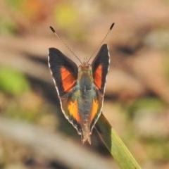 Paralucia aurifer (Bright Copper) at Tidbinbilla Nature Reserve - 21 Oct 2018 by JohnBundock
