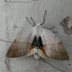 Gastrophora henricaria (Fallen-bark Looper, Beautiful Leaf Moth) at Tuggeranong Hill - 21 Oct 2018 by Owen