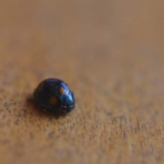 Orcus australasiae (Orange-spotted Ladybird) at Wamboin, NSW - 20 Aug 2018 by natureguy