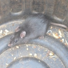 Rattus rattus (Black Rat) at Wamboin, NSW - 21 Aug 2018 by natureguy