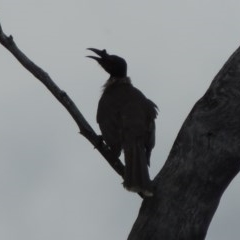 Philemon corniculatus (Noisy Friarbird) at Tennent, ACT - 16 Oct 2018 by michaelb