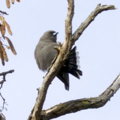 Artamus cyanopterus (Dusky Woodswallow) at Jerrabomberra Wetlands - 4 Jun 2018 by jbromilow50