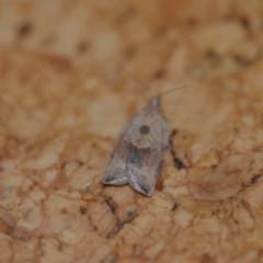 Epiphyas postvittana (Light Brown Apple Moth) at Wamboin, NSW - 25 Aug 2018 by natureguy