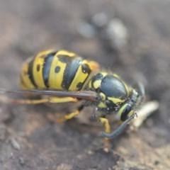 Vespula germanica (European wasp) at Wamboin, NSW - 26 Aug 2018 by natureguy