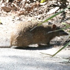 Isoodon obesulus (Southern Brown Bandicoot) at Tidbinbilla Nature Reserve - 13 Sep 2018 by leithallb