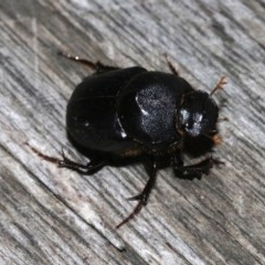 Onthophagus declivis (Declivis dung beetle) at Ainslie, ACT - 20 Oct 2018 by jbromilow50