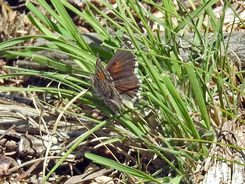 Lucia limbaria at Gigerline Nature Reserve - 22 Oct 2018