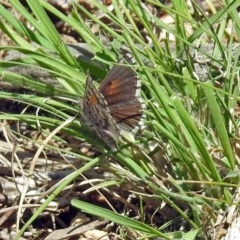Lucia limbaria (Chequered Copper) at Gigerline Nature Reserve - 22 Oct 2018 by RodDeb