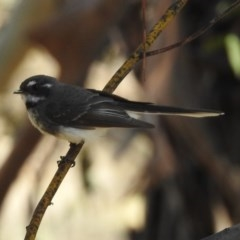 Rhipidura fuliginosa (Grey Fantail) at Gigerline Nature Reserve - 22 Oct 2018 by RodDeb