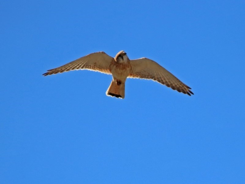 Falco cenchroides at Gigerline Nature Reserve - 22 Oct 2018