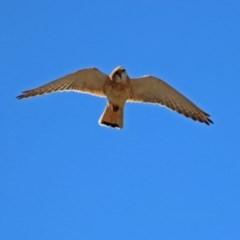 Falco cenchroides (Nankeen Kestrel) at Gigerline Nature Reserve - 22 Oct 2018 by RodDeb
