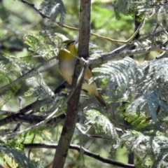 Zosterops lateralis (Silvereye) at Gigerline Nature Reserve - 22 Oct 2018 by RodDeb
