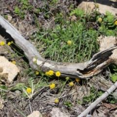 Calotis lappulacea at Gigerline Nature Reserve - 22 Oct 2018