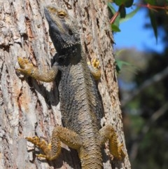 Pogona barbata (Eastern Bearded Dragon) at ANBG - 21 Oct 2018 by Tim L
