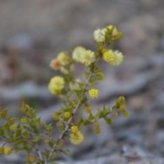 Acacia gunnii (Ploughshare Wattle) at Wamboin, NSW - 9 Sep 2018 by natureguy