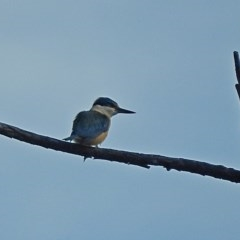 Todiramphus sanctus (Sacred Kingfisher) at Brogo, NSW - 22 Oct 2018 by MaxCampbell