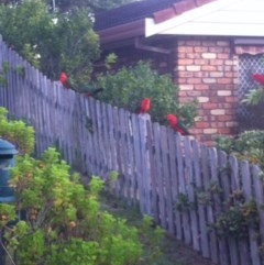 Alisterus scapularis (Australian King-parrot) at Undefined - 9 May 2016 by ChrisAtlasLife35