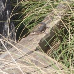 Pseudemoia entrecasteauxii at Namadgi National Park - 23 Oct 2018