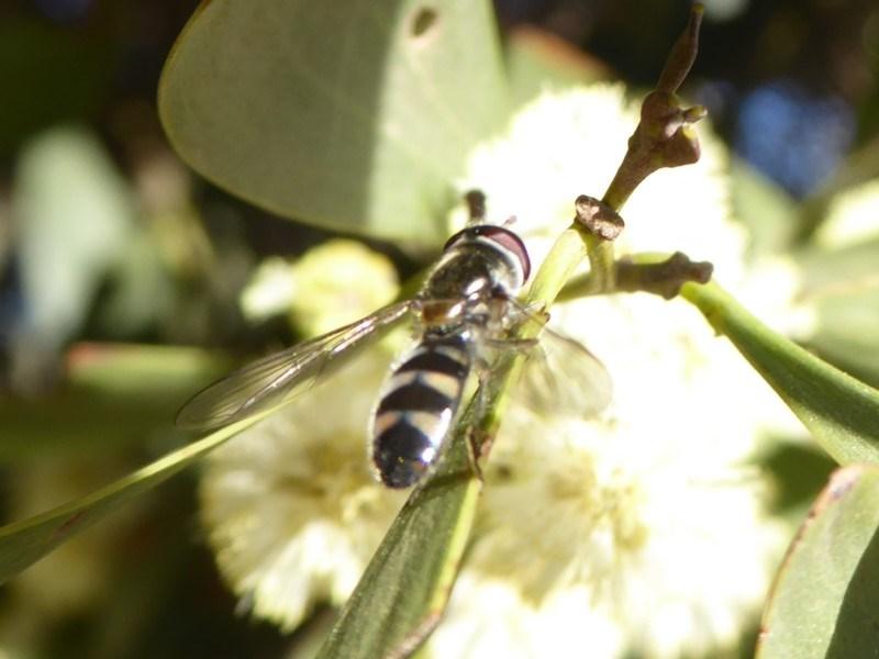 Melangyna sp. (genus) at Namadgi National Park - 23 Oct 2018