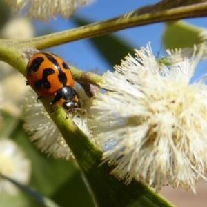 Coccinella transversalis at Namadgi National Park - 23 Oct 2018