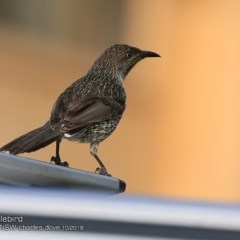 Anthochaera chrysoptera (Little Wattlebird) at Wairo Beach and Dolphin Point - 13 Oct 2018 by Charles Dove