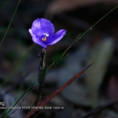 Patersonia sericea var. sericea (Silky Purple Flag) at South Pacific Heathland Reserve - 14 Oct 2018 by Charles Dove