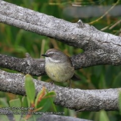 Sericornis frontalis (White-browed Scrubwren) at Wairo Beach and Dolphin Point - 13 Oct 2018 by CharlesDove