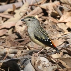 Pardalotus punctatus (Spotted Pardalote) at Tidbinbilla Nature Reserve - 13 Sep 2018 by leithallb