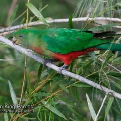 Alisterus scapularis (Australian King-parrot) at One Track For All - 20 Oct 2018 by Charles Dove