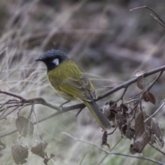 Nesoptilotis leucotis (White-eared Honeyeater) at Tidbinbilla Nature Reserve - 27 Sep 2018 by Alison Milton